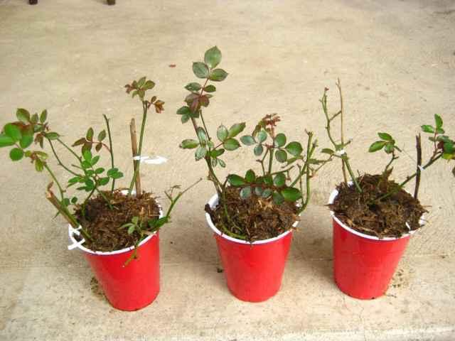 Kỹ thuật nhân giống cây bằng phương pháp giâm cành ở Malaysia