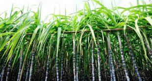 Giống cây BĐG đầu tiên sẽ sớm được thương mại hoá tại Indonesia