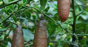 Chanh ngón tay – Loại chanh giống trứng cá hồi đắt nhất thế giới