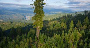 Đong đếm độ khủng của loài cây cao nhất thế giới