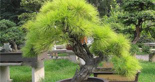 Khoa học thực vật: Bonsai là gì?