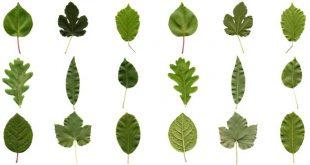 Khoa học tìm ra vì sao kích cỡ lá cây khác nhau – lá thì to vĩ đại, lá thì bé tin hin
