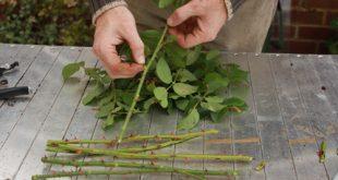 Kỹ thuật nhân giống cây bằng phương pháp giâm cành ở Philippin