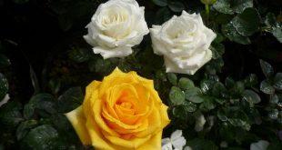 Kỹ thuật nhân giống cây Hoa hồng