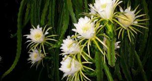 Loài cây này ai nghe tên cũng biết nhưng không ngờ rằng hoa của nó phát sáng đẹp như cổ tích vậy