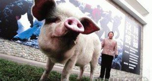Nhân bản thành công lợn bằng phương pháp vô tính
