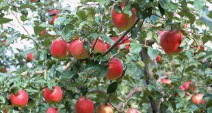 Tại sao có quả táo chín mà rất nhạt?